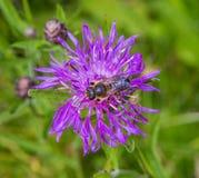 Una abeja en un aciano del prado de la flor Imagen de archivo