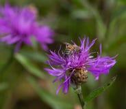 Una abeja en un aciano del prado de la flor Imágenes de archivo libres de regalías