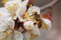 Una abeja en un albaricoque de la flor Imágenes de archivo libres de regalías