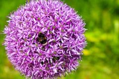 Una abeja en un allium Imágenes de archivo libres de regalías