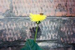 Una abeja en un amarillo del diente de león para tomar la comida Foto de archivo