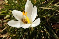 Una abeja en un azafrán blanca que destella Imagen de archivo