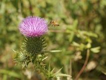 Una abeja en un cardo floreciente Fotografía de archivo