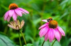 Una abeja en un coneflower púrpura estrecho-con hojas Fotografía de archivo