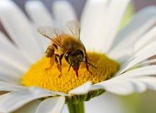Una abeja en un crisantemo de la madre Foto de archivo