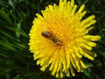Una abeja en un diente de león Imágenes de archivo libres de regalías