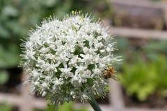 Una abeja en un flor de la cebolla verde Imagen de archivo libre de regalías