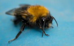 Una abeja en un fondo azul Imagenes de archivo