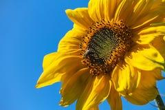 Una abeja en un girasol Imagen de archivo