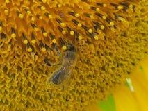 Una abeja en un girasol Foto de archivo