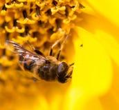 Una abeja en un girasol amarillo en naturaleza Imagen de archivo