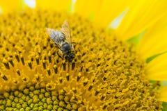 Una abeja en un girasol (primer tirado) Imagen de archivo