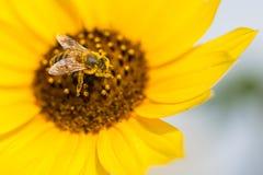 Una abeja en un girasol que consigue el polen Foto de archivo