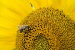 Una abeja en un girasol y un x28; shot& x29 del primer; Fotos de archivo libres de regalías