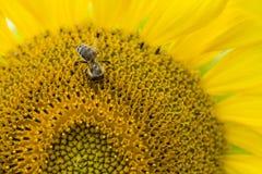 Una abeja en un girasol y un x28; shot& x29 del primer; Imagen de archivo libre de regalías