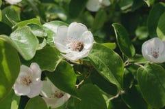 Una abeja en un manzano floreciente Fotos de archivo