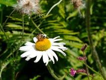 Una abeja en un primer Camilo en montañas alpinas Imagen de archivo