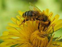 Una abeja en un primer de la flor Fotografía de archivo libre de regalías