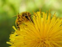Una abeja en un primer de la flor Imagen de archivo