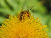Una abeja en un primer de la flor Foto de archivo