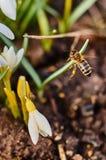 Una abeja en un snowdrop en primavera Imagenes de archivo