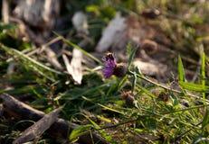 Una abeja en un wildflower Imagen de archivo libre de regalías