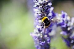 Una abeja en una flor Fotos de archivo