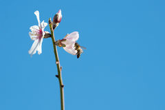 Una abeja en una flor Fotografía de archivo libre de regalías