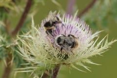 Una abeja en una flor Foto de archivo libre de regalías