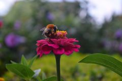 Una abeja en una flor Fotos de archivo libres de regalías