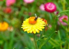 Una abeja en una flor amarilla de la paja Fotografía de archivo libre de regalías
