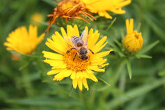 Una abeja en una flor amarilla del diente de león Fotos de archivo
