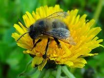 Una abeja en una flor amarilla del diente de león Fotografía de archivo