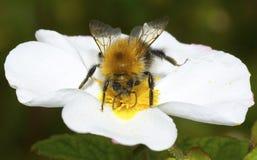 Una abeja en una flor blanca Fotos de archivo