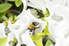 Una abeja en una flor blanca de la azalea Imagen de archivo libre de regalías