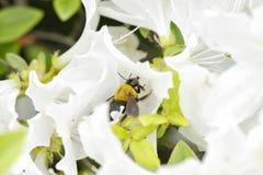 Una abeja en una flor blanca de la azalea Fotografía de archivo