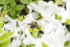 Una abeja en una flor blanca de la azalea Imagenes de archivo