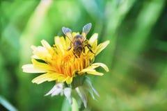 Una abeja en una flor con una profundidad del campo baja Fotografía de archivo