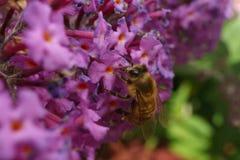 Una abeja en una flor de Buddleja Imagen de archivo libre de regalías