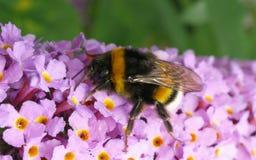 Una abeja en una flor de Buddleja Foto de archivo libre de regalías