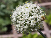 Una abeja en una flor de la cebolla verde Foto de archivo