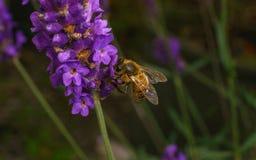 Una abeja en una flor de la lavanda Fotos de archivo