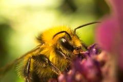Una abeja en una flor de la lavanda Imagen de archivo libre de regalías