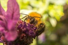 Una abeja en una flor de la lavanda Fotografía de archivo libre de regalías