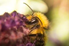 Una abeja en una flor de la lavanda Foto de archivo libre de regalías