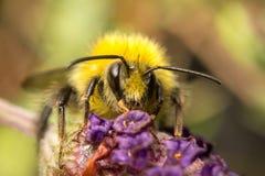 Una abeja en una flor de la lavanda Fotos de archivo libres de regalías