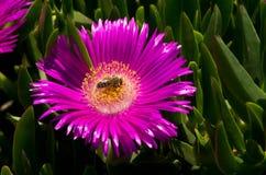 Una abeja en una flor de la playa Fotografía de archivo libre de regalías