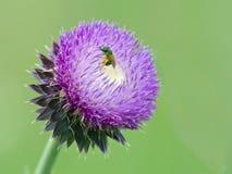 Una abeja en una flor del cardo Fotos de archivo