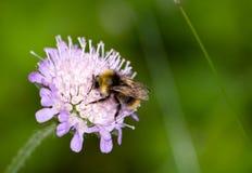 Una abeja en una flor del verano Fotos de archivo