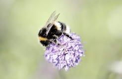 Una abeja en una flor púrpura Imagen de archivo libre de regalías